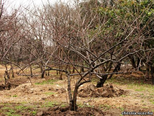 Санитарная осенняя обрезка вишни